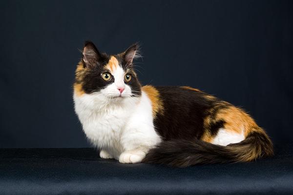 A munchkin calico cat.