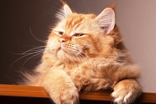 A happy orange cat.