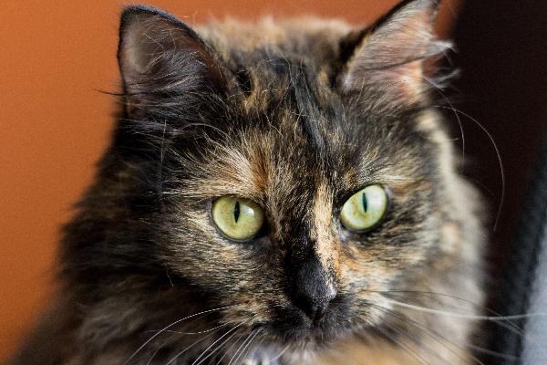 A close up of a tortoiseshell cat.