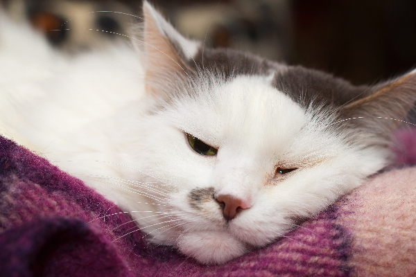 A sick cat lying down with eyes half closed.