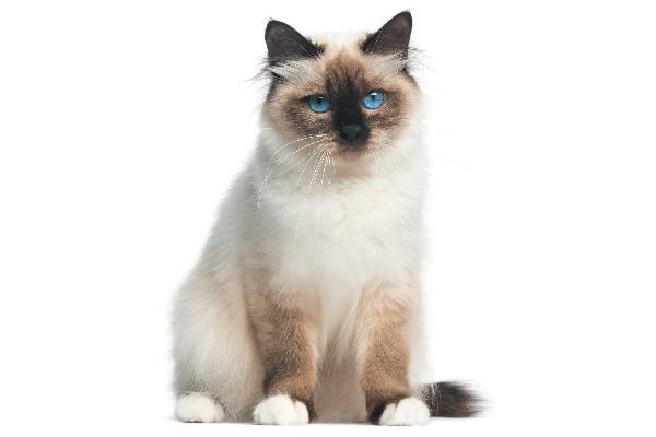 A Birman cat, full length.