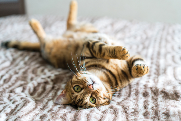 Bengal upside down, showing off belly.
