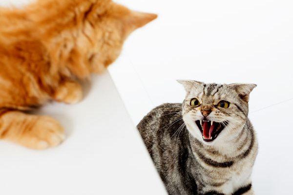 A cat fight in progress.