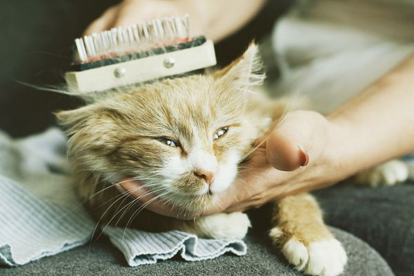 A cat being groomed.
