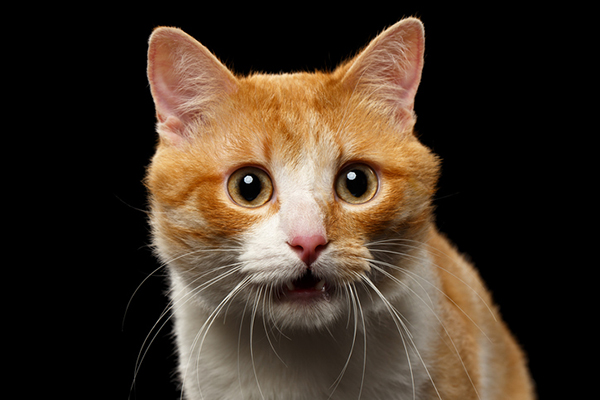 A ginger cat looking surprised.