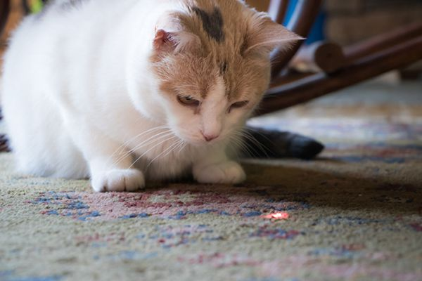A mostly white cat playing with a cat laser pointer toy.