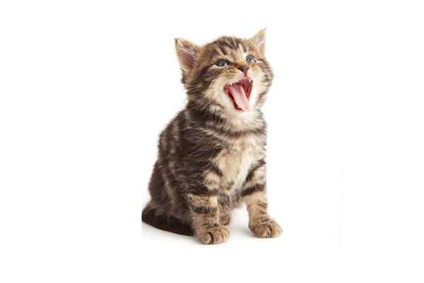 A brown tabby kitten with his mouth open, meowing or making another sound.