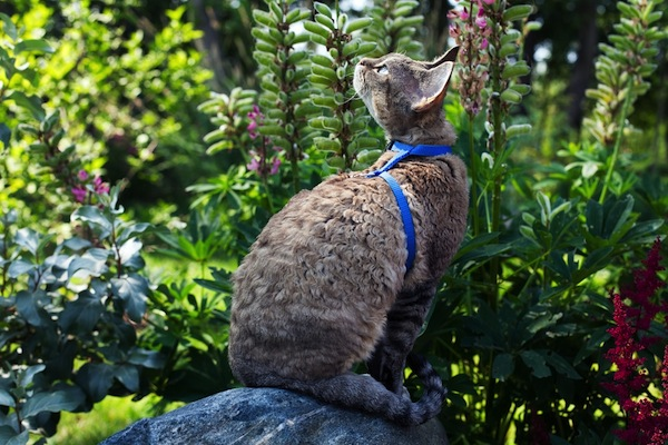 A leashed and harness cat in a garden.