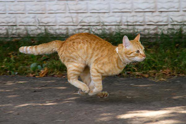 An orange tabby cat running.