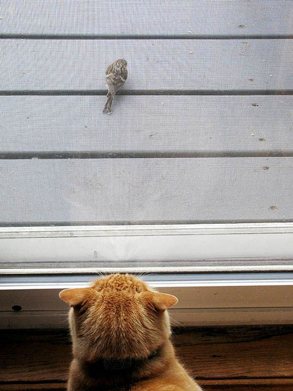 An orange tabby cat with his ears flattened, stalking a bird.