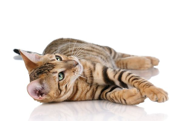 A toyger cat.