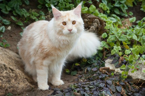 A Maine Coon cat outside.