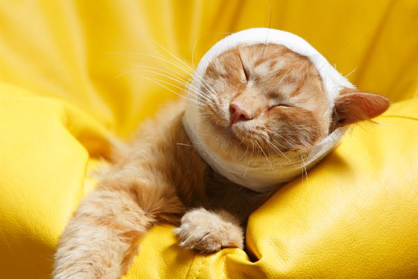 A cat with a bandage on his head.