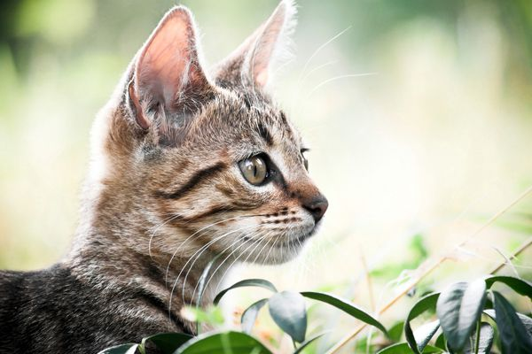 A brown tabby cat with his ears perked up.