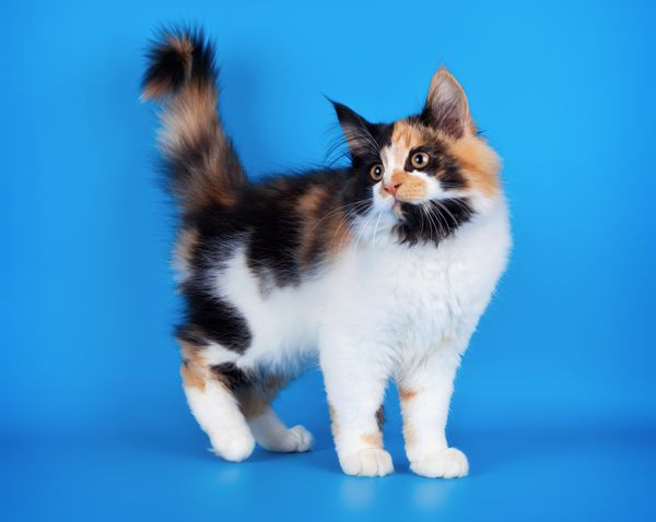 A fluffy calico cat with her tail in the air.