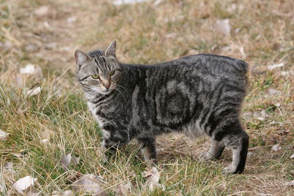 A manx cat without a tail.