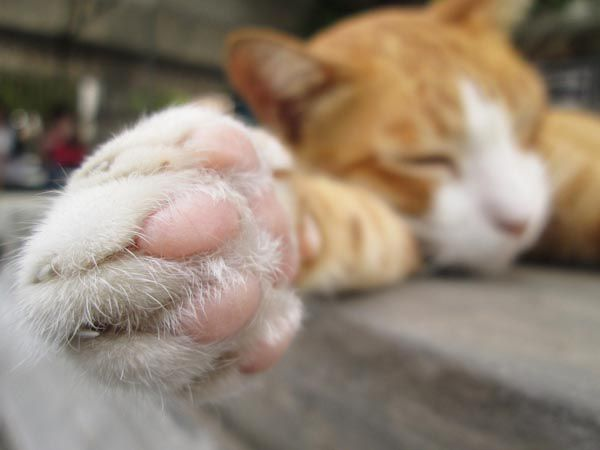 A close up of an orange tabby cat's paws.