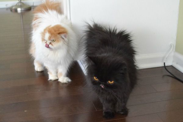 Two Persian cats.