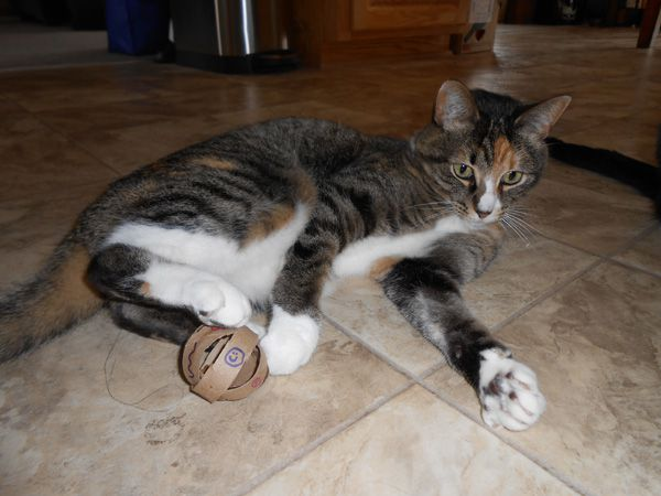 A cat playing with a homemade toilet paper roll toy.