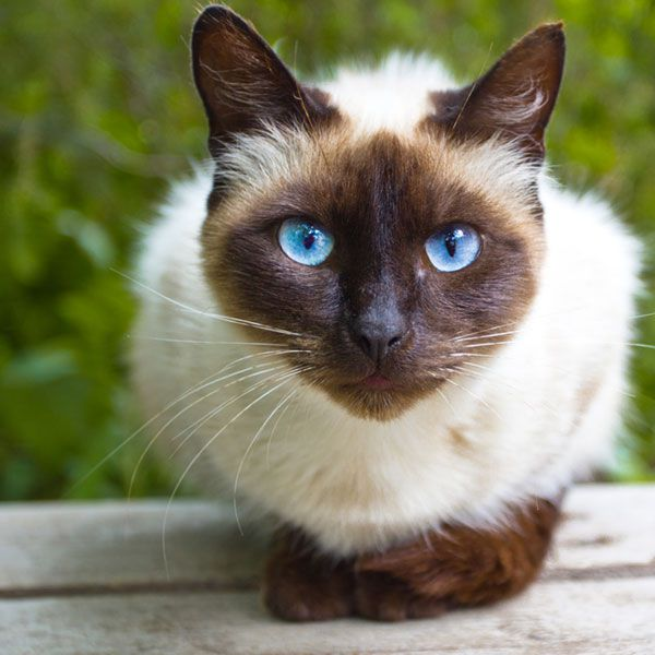 A Siamese cat has some degrees of albinism.