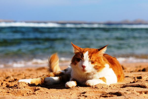 An orange and white cat hangs out on the beach in the sun.