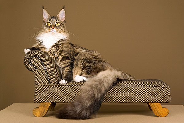 A Maine Coon cat lounging on a couch.