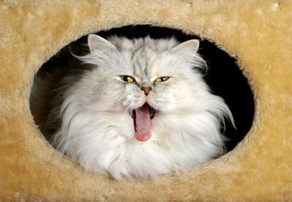 Longhaired cats groom themselves and swallow a lot of fur. Persian cat  by Shutterstock