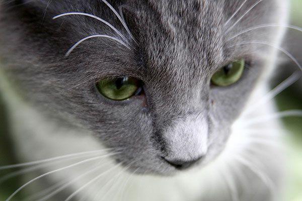 A sad gray cat.