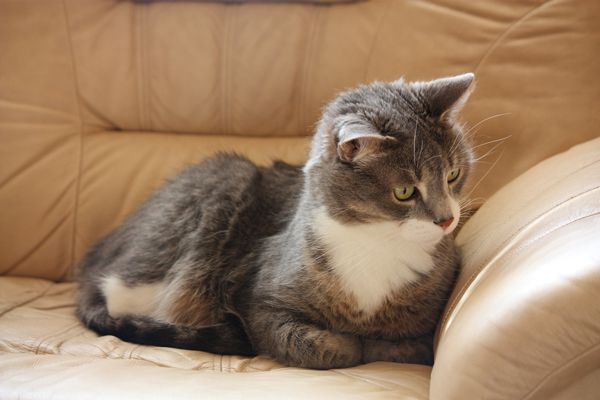 A gray cat hanging out on a couch.