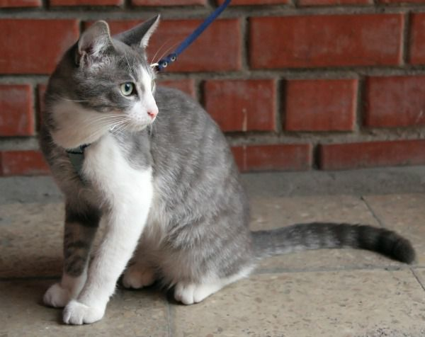 A gray tabby cat on a leash and harness.