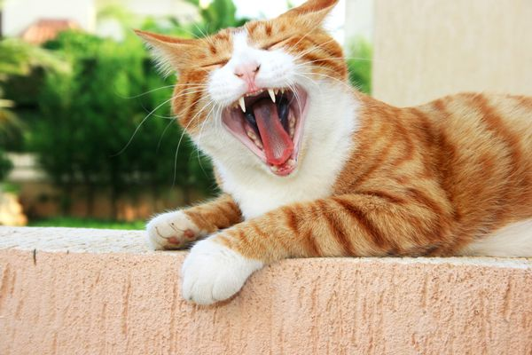 An orange cat with an open mouth, showing off his teeth.