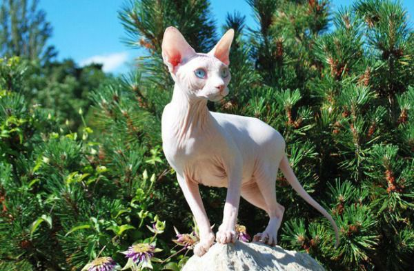 A Sphynx cat outside.