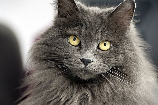 A long haired cat.