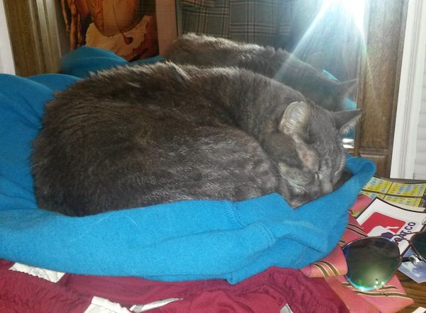 A gray cat curled up on dirty clothes.