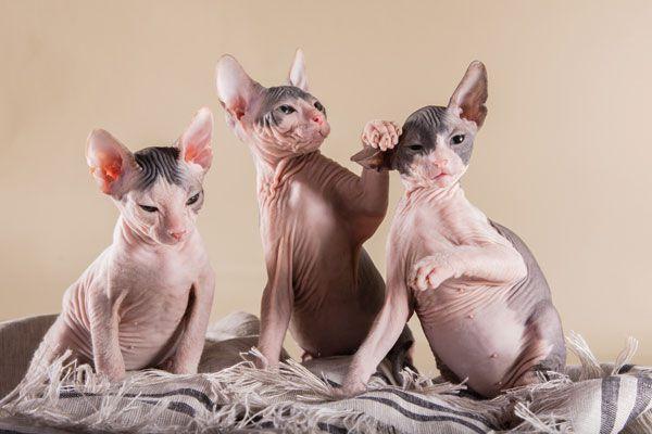 Sphynx kittens playing.