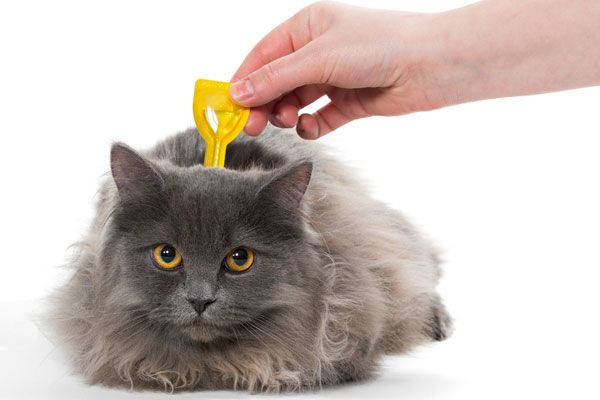 Talk to your vet about the best flea meds for your cat. Cat gets flea medication by Shutterstock