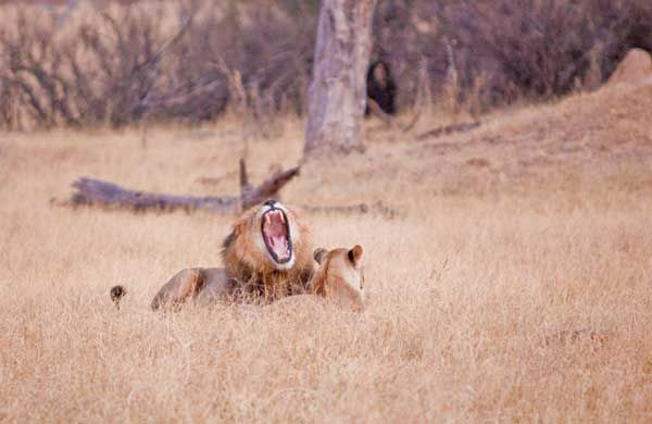 Cecil and one of the Hwange lionesses. Photo courtesy Cecil the Lion