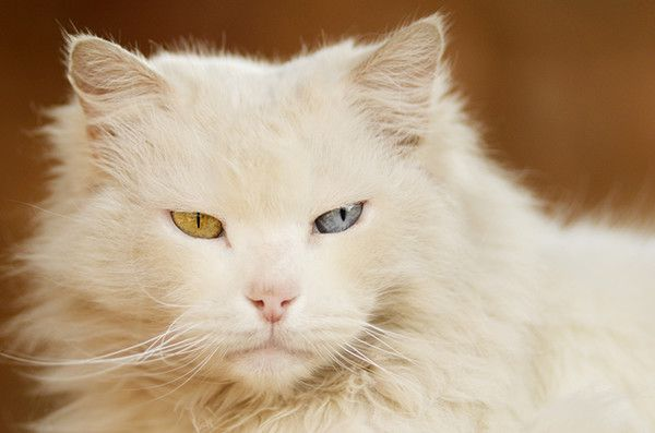 Odd-eyed white cats -- those with one blue eye and one non-blue eye -- tend to be deaf on the side with the blue eye.