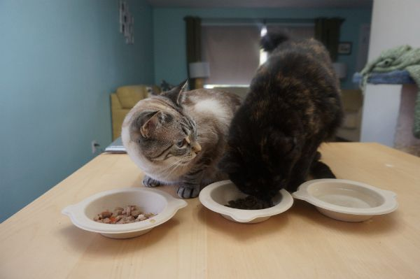 Ghost Cat and Specter testing food and water in the Clean Healthy Bowls.