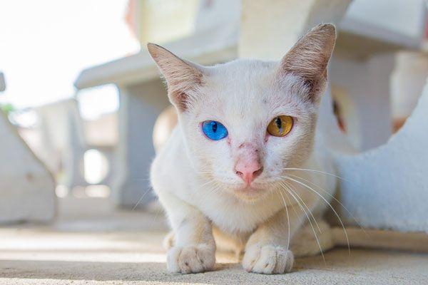 abnormal eye color in cats