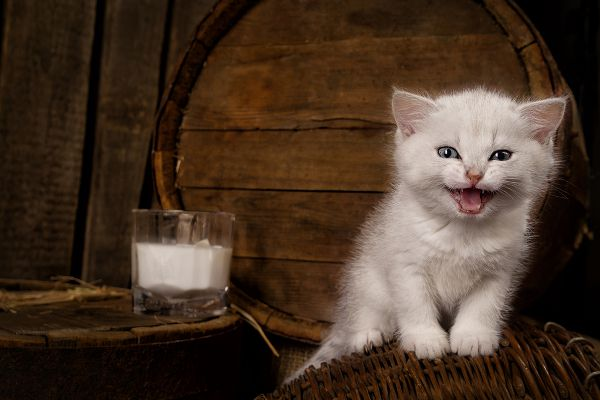 A white kitten with a glass of milk.