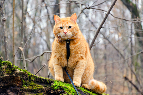 These days, the only way my cats go outdoors is on a leash.