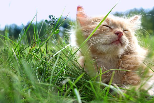 An orange tabby cat relaxing in the grass.