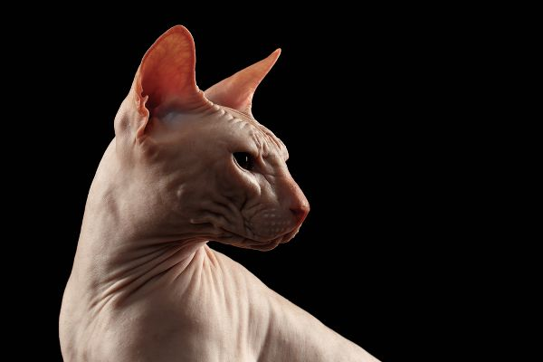 A Sphynx cat profile.