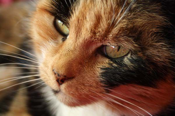 Calico cat with nose freckles.
