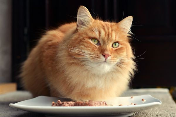 An orange cat with a plate of wet food.