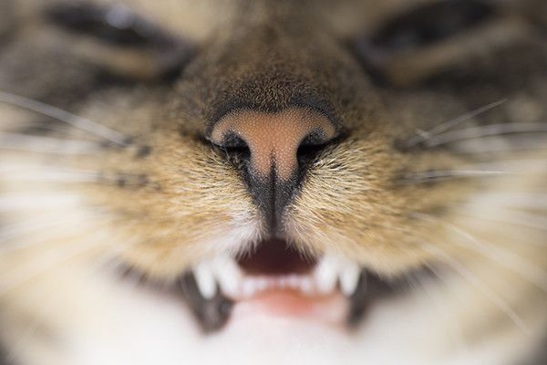 Close up of a cat nose and cat teeth.