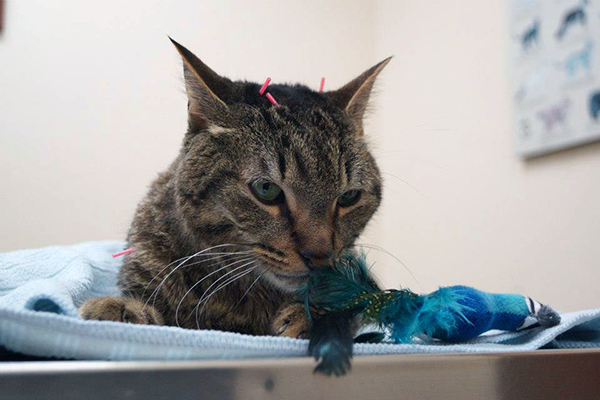 Moki the cat receives an acupuncture treatment