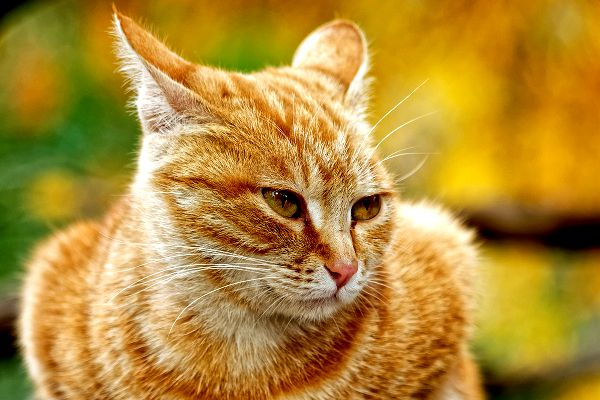 An orange tabby cat with his ears back.