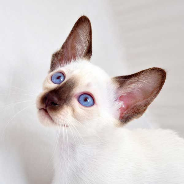 Siamese kittens are born with white fur; their markings (points) develop later. Siamese kitten by Shutterstock